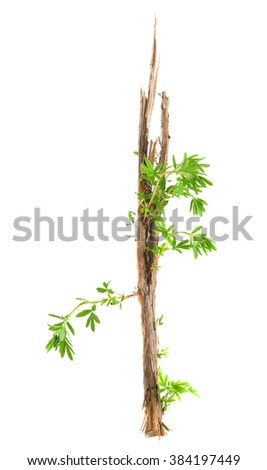 Fresh sprouts on cut bush cinquefoil, Potentilla fruticosa isolated on white background #384197449