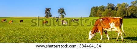 Cow herde  #384464134