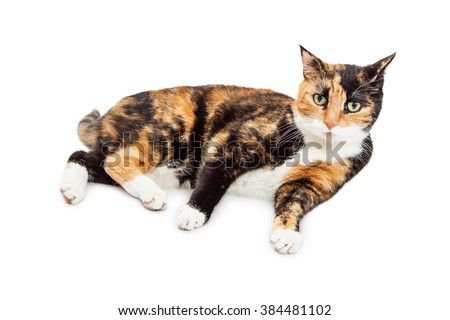 Pretty Calico Cat Laying ob White Background #384481102