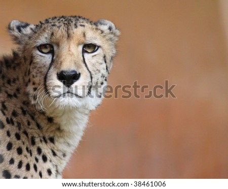 Portrait of a female cheetah 02 #38461006