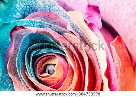 Rainbow Rose, close-up, macro.