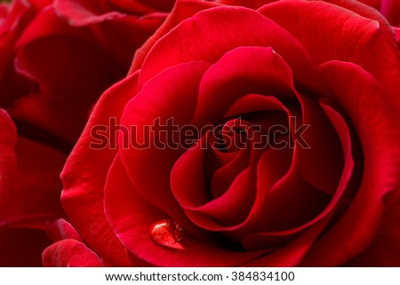 Single Water Drop on the Beautiful Red Rose. Macro Flower Background Photo #384834100