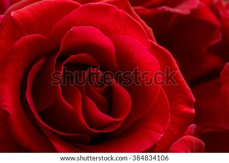 Beautiful Red Rose Close up. Macro Flower Background Photo #384834106