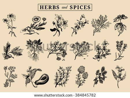 Herbs and spices set. Hand drawn officinalis, medicinal, cosmetic plants. Engraving botanical illustrations for tags. Vector healing wild flowers sketches for labels. #384845782