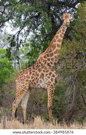 giraffe looking at me at kruger national park south africa #384985876