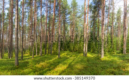 Panoramic view of conifer forest on a summer day #385149370