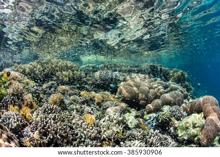 A healthy, colorful coral reef grows in extremely shallow water in Raja Ampat, Indonesia. This beautiful equatorial region is known for its high marine biological diversity. #385930906