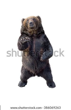 Black bear view of profile isolated on white background