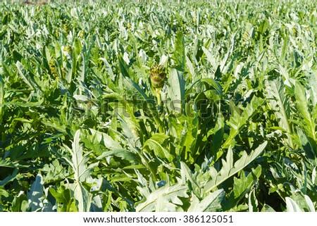 Artichokes vegetable plantation in Crete Island.  #386125051