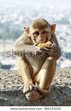 Monkey is eating a fruit