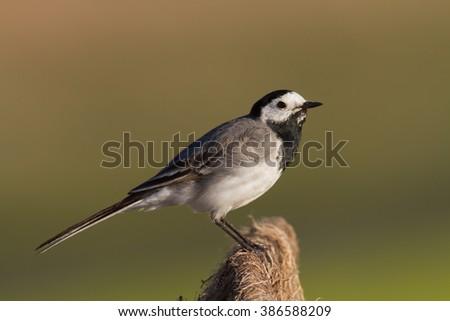 Bird - White Wagtail (Motacilla alba) male #386588209