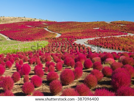 Beautiful kochias hill in autumn season at Hitachi seaside park , Ibaraki prefecture , Japan #387096400