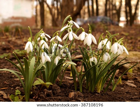 First spring snowdrops in the garden near home.                               #387108196
