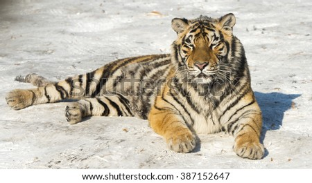Siberian Tiger, after eating a chicken, Harbin, China Royalty-Free Stock Photo #387152647