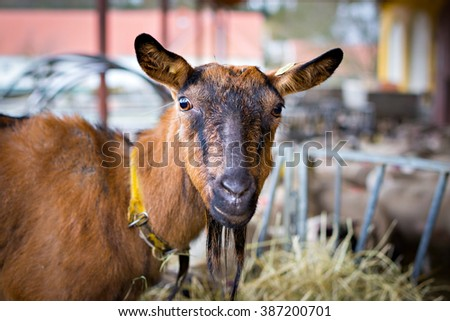Portrait of a brown goat in barn #387200701