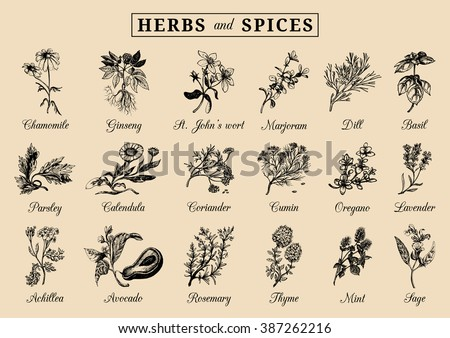 Herbs and spices set. Hand drawn officinalis, medicinal, cosmetic plants. Engraving botanical illustrations for tags. Vector healing wild flowers sketches for labels. #387262216