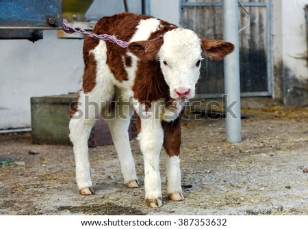 Young and cute little calf with leash look at camera.  #387353632