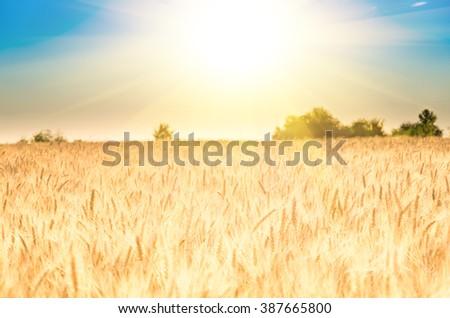 Golden ripe ears of wheat on the field #387665800