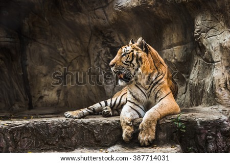tiger sitting in a zoo. #387714031