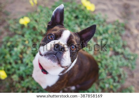 Cute Boston Terrier smiling up at camera