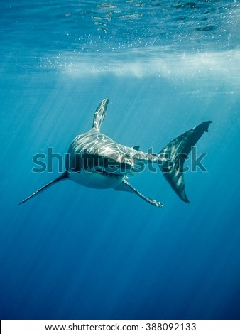 Great white shark with its main four fins swimming under sun rays in the blue Pacific Ocean  at Guadalupe Island in Mexico