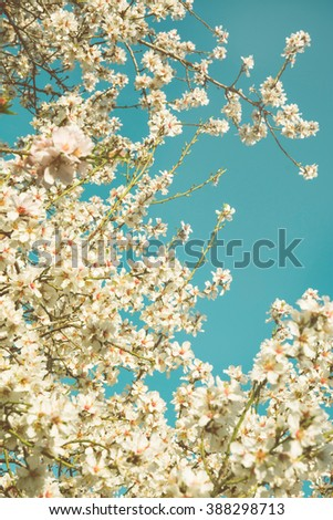 Almond trees blooming in orchard against blue, Spring sky. Forest #388298713