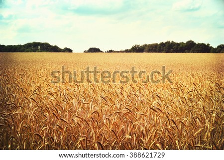 Rye field or wheat field in the sun with defocused background. Selective focus of ears of rye, nature background with copy space. Cereals plants in the sun. #388621729