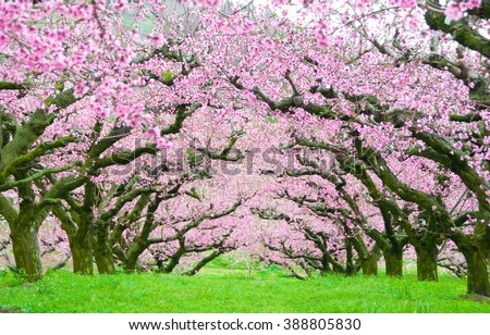 Pink flowers trees tunnel #388805830