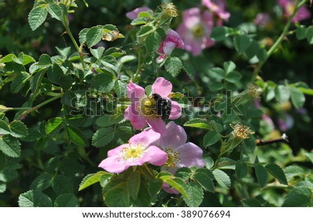 Hedge Rose Flowers Pink Yellow, Two Black White Bugs Making Love, Bushes, Green Leaves, Summer Spring Season #389076694