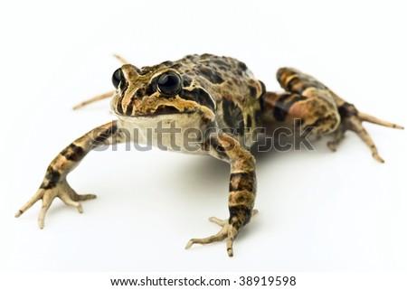 frog #38919598