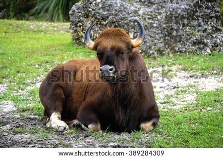 Gaur with strong, curved horns lying in the grass. #389284309