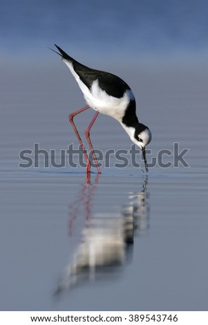 Black-necked Stilt in natural habitat with reflection in water #389543746