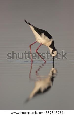 Black-necked Stilt in natural habitat  #389543764