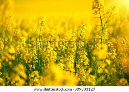 Rapeseed field, Blooming canola flowers close up. Rape on the field in summer. Bright Yellow rapeseed oil. Flowering rapeseed #389803129
