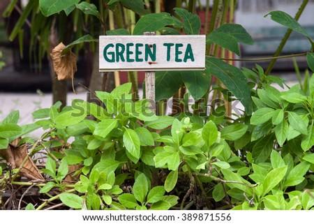 Wild green tea growing in a garden. Green tea sign. #389871556