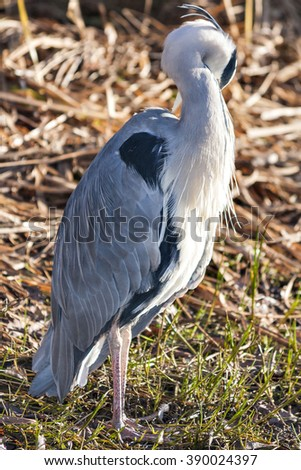 The grey heron, aka Ardea cinerea, is a wading bird of the heron family Ardeidae, native throughout temperate Europe and Asia and also parts of Africa #390024397