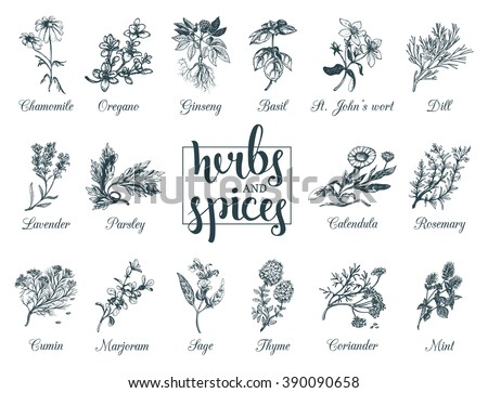 Herbs and spices set. Hand drawn officinalis, medicinal, cosmetic plants. Engraving botanical illustrations for tags. Vector healing wild flowers sketches for labels.   Royalty-Free Stock Photo #390090658