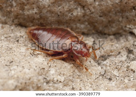 Bedbug, Bug, parasite, Czech Republic