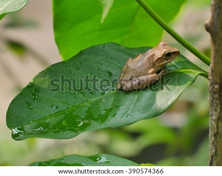 Frog on Coffee Tree Leaf #390574366