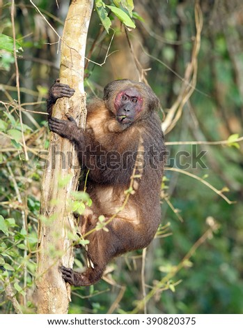 Stump-tailed Macaque #390820375