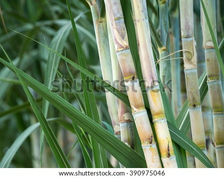 fresh sugarcane in garden. #390975046