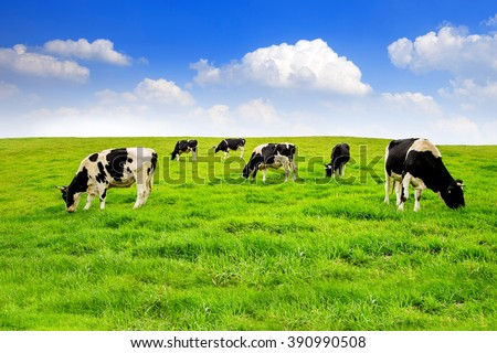 Cows on a green field and blue sky. #390990508