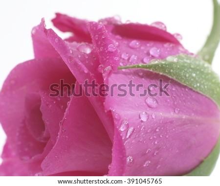 Rosa pink #391045765