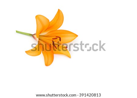 Lilly on white background #391420813