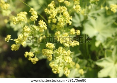 Common lady's mantle in garden #391736680