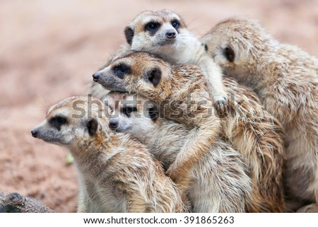 Group hug Meerkat standing on a rainy day because of cold.