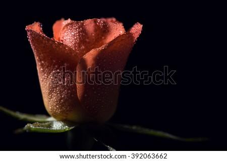rose on black background #392063662