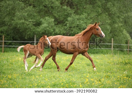 Lovely couple - mare with its foal - running togetheron pasturage #392190082