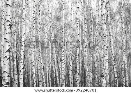 birch forest, black-white photo Royalty-Free Stock Photo #392240701