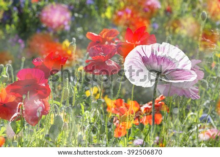 summer meadow with red poppies #392506870